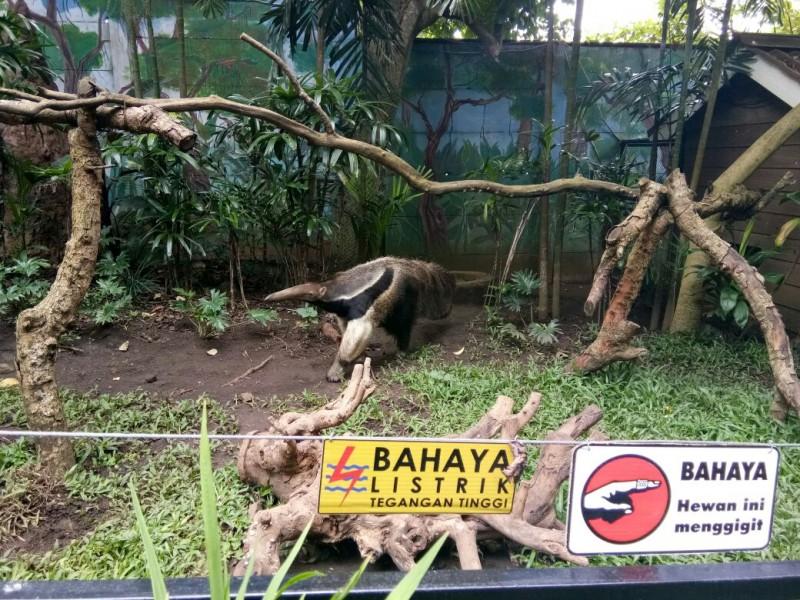 Giant Anteater Lengkapi Satwa Secret Zoo Jatim Park