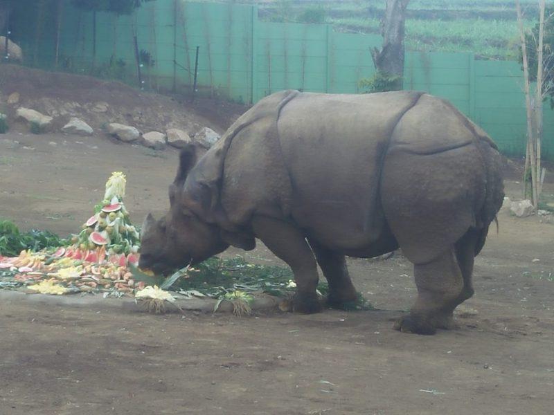 World Rhino Day, Jatim Park 2 dan YABI Berikan Tumpeng untuk Badak India dan Badak Putih Afrika