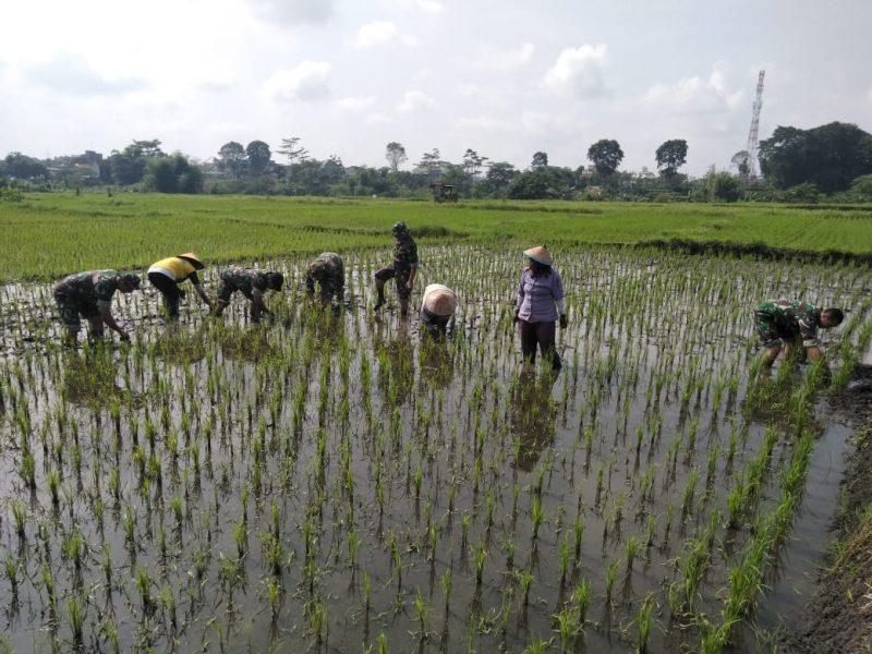 Babinsa Kelurahan Tasikmadu Turun Tangan Menanam Padi Untuk Meningkatkan Ketahanan Pangan
