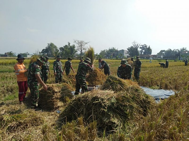 Babinsa Koramil 0833/05 Lowokwaru Dampingi Petani Panen Padi Turun ke Sawah