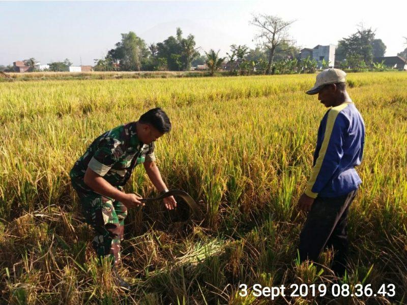 Babinsa Koramil 0833/05 Lowokwaru Bantu Petani Panen Padi di Desa Binaan