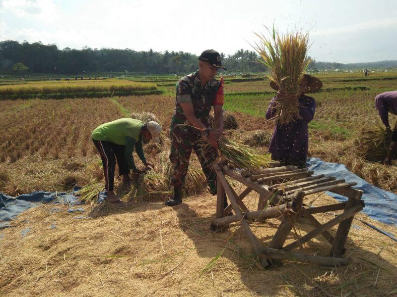 Babinsa Kelurahan Tlogowaru Koramil 0833/02 Kedungkandang Panen Padi Warga Binaannya