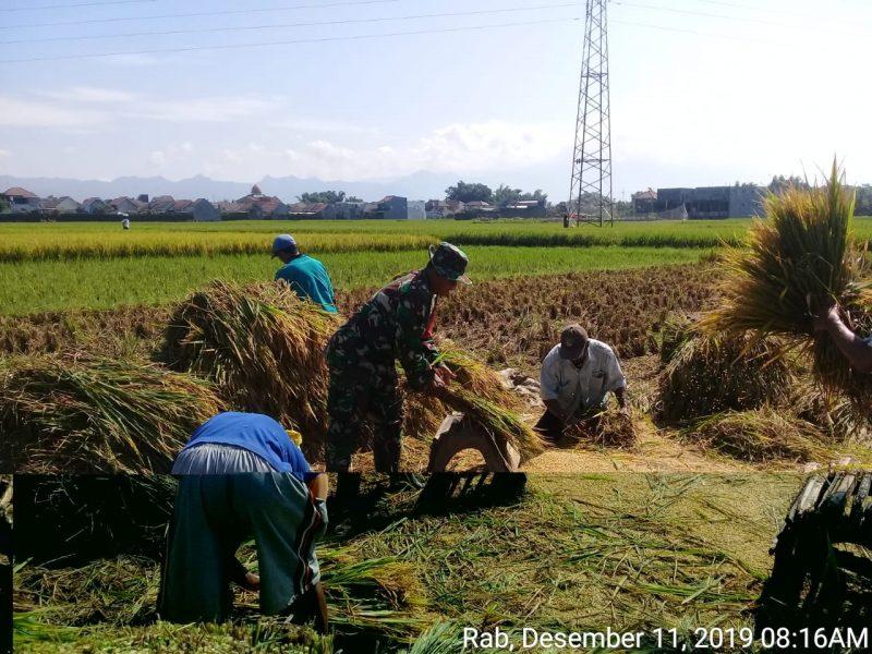 Babinsa Koramil 0833/02 Kedungkandang Dampingi Panen Petani Binaan