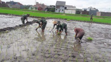 Jajaran Babinsa Koramil 0833/04 Sukun Bantu Tingkatkan Pendapatan Petani